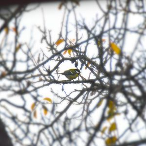 Great tit between branches