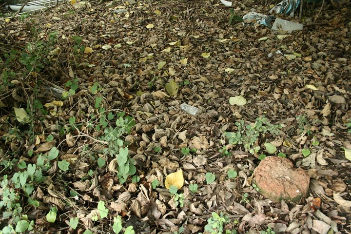 leaf ? leaves ? - ZeroMosquito