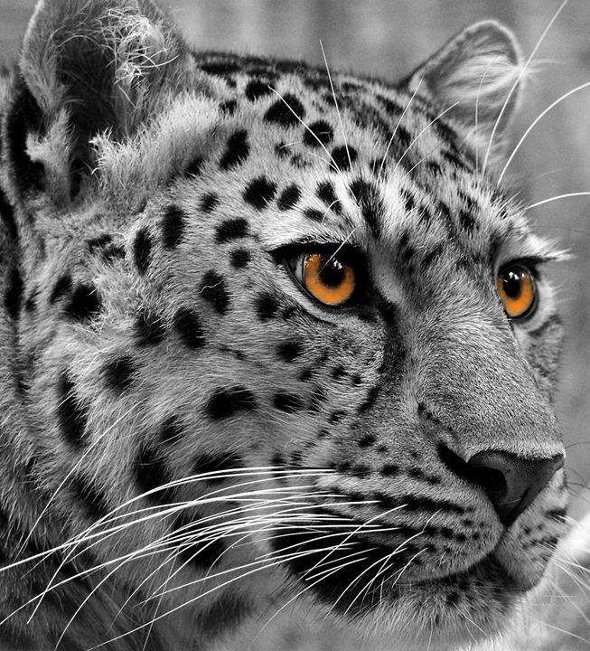 Leopard - Philandlinda