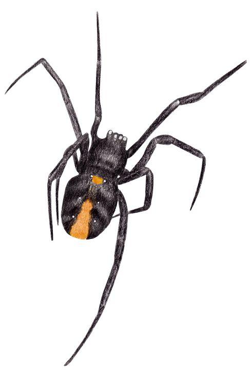 Red Back Spider - Linda Ursin
