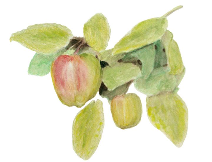 Winter Apples on the Branch - Linda Ursin