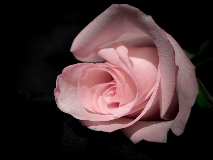 Pink Rose - Jus4fundesigns