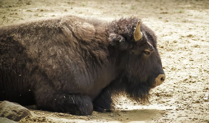 Bison - Jus4fundesigns