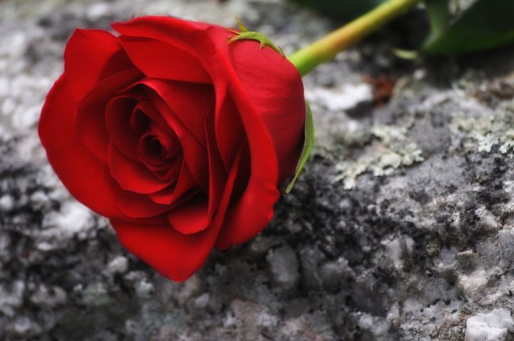 Single Red Rose - Jus4fundesigns