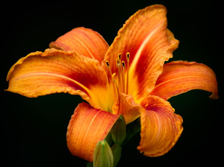 Orange Tiger Lily - Jus4fundesigns