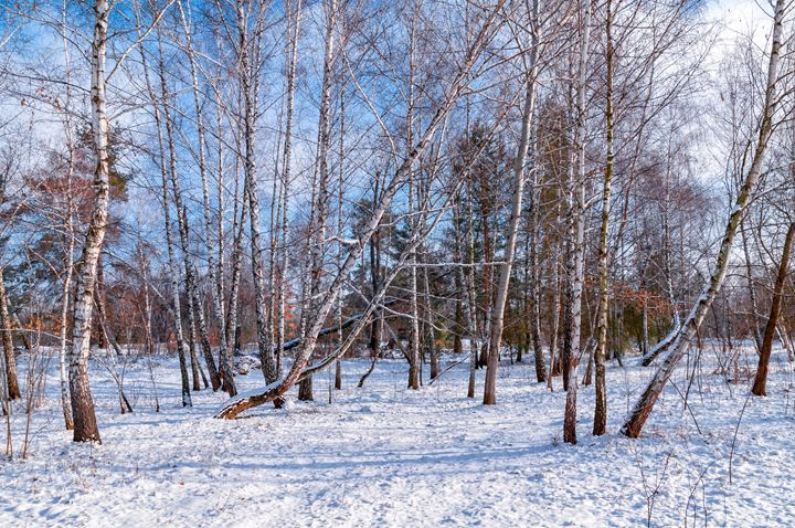 Birch trees in the snow - Serhii Simonov photographer