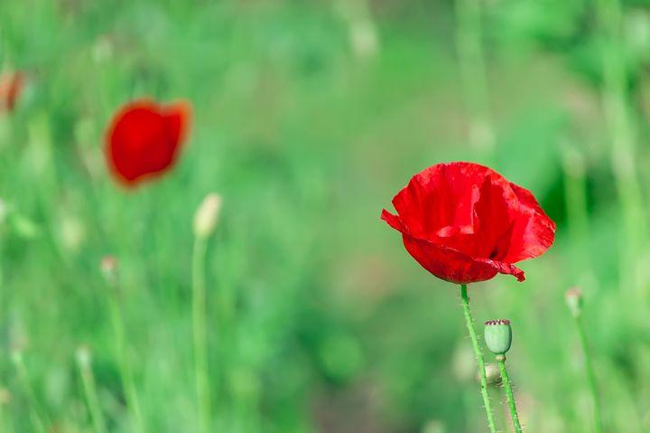 Bud of a poppy in a field - Serhii Simonov photographer