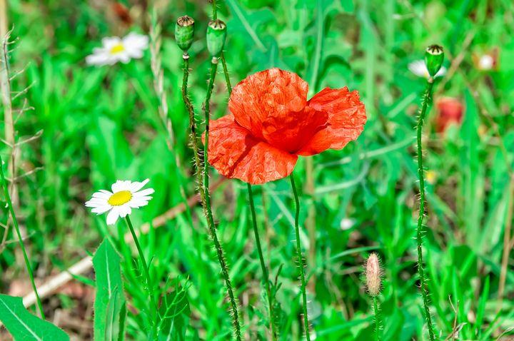 Matricaria and poppy - Serhii Simonov photographer