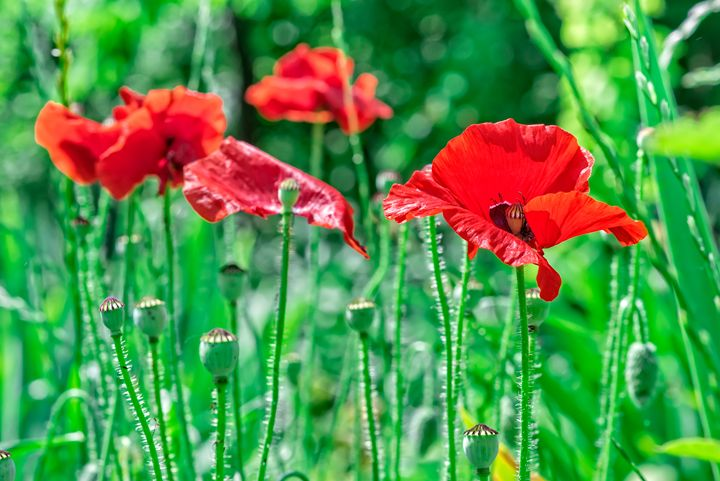 Poppy trembling in the wind - Serhii Simonov photographer