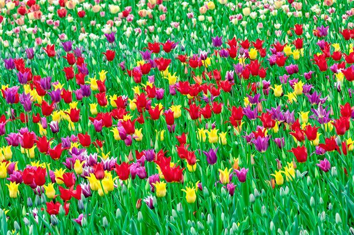 May tulips at the singing field - Serhii Simonov photographer