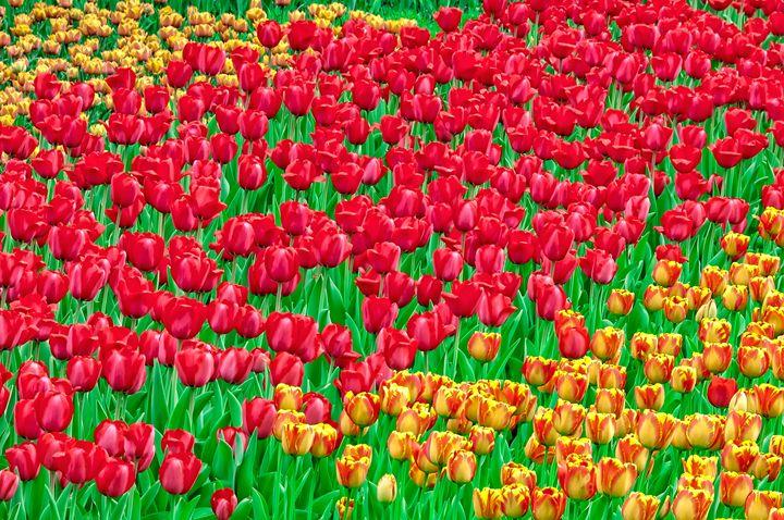 Colourful tulip fields - Serhii Simonov photographer