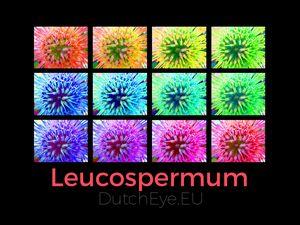Leucospermum - B