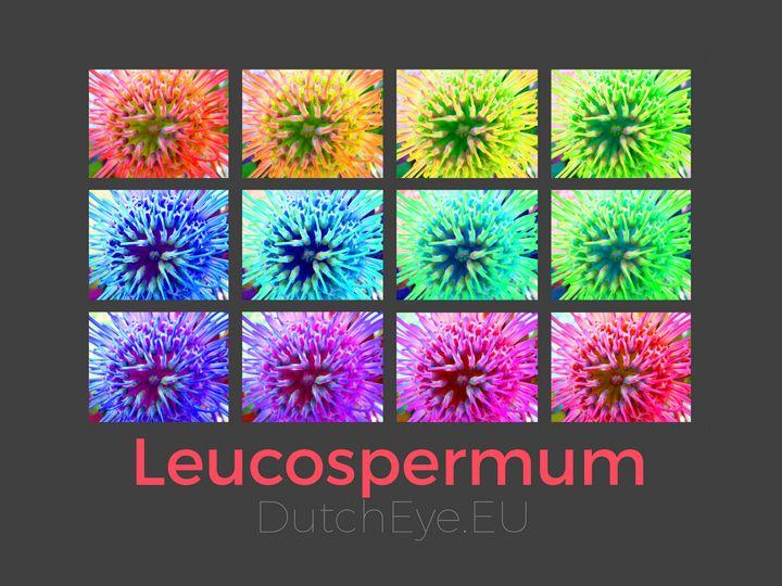 Leucospermum - G - DutchEye.EU