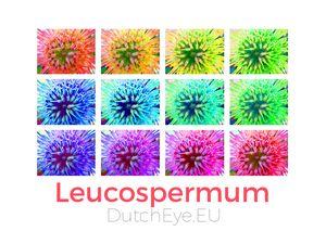 Leucospermum - W