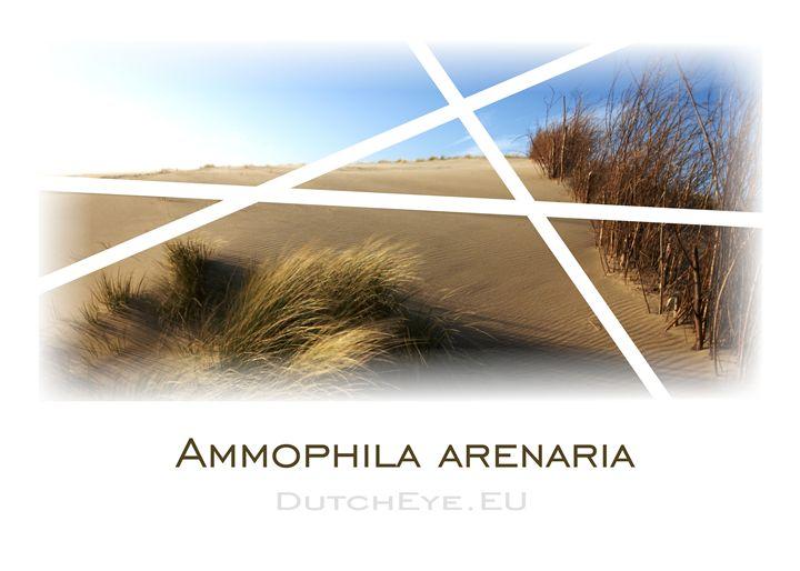 Ammophila Arenaria - W - DutchEye.EU
