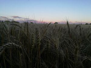 a walk through the wheat field