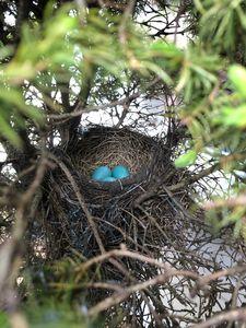 Robin Eggs Nest in Pine Tree
