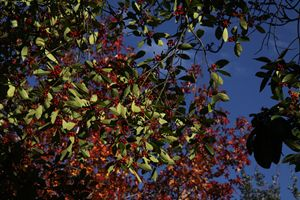 Winter Holly and Fall leaves