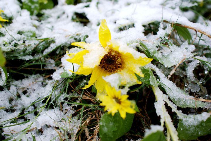 Sunflower survives snow - Hot Natured