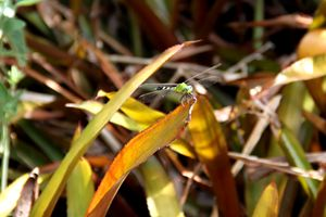 Dragonfly in camouflage