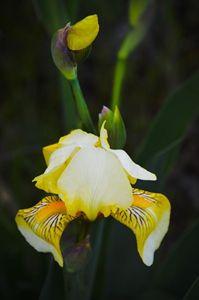 Wild Texas Iris