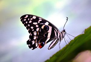 Zebra With Wings