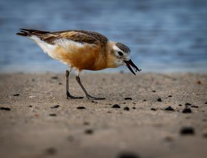 Northern New Zealand Dotterel#3