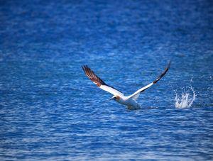 Gannet Take Off #3