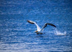 Gannet Take Off #2