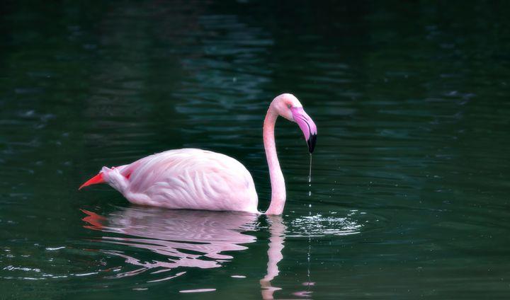 Flamingo feeding - DVArt