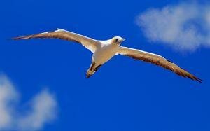 Australasian Gannet in flight#1