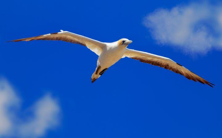 Australasian Gannet in flight#1 - DVArt
