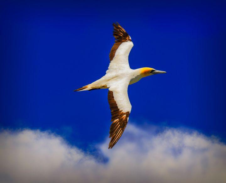 Australasian Gannet in flight #2 - DVArt