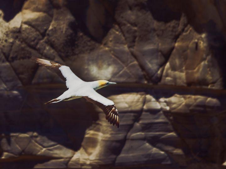 Gannet in flight #3 - DVArt