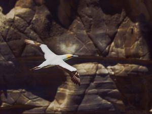 Gannet in flight #3