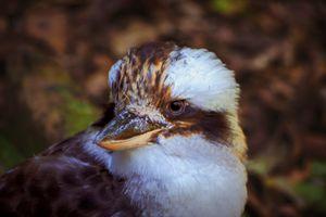 Kookaburra Portrait #2
