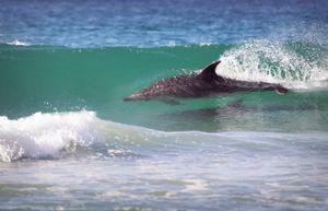 Dolphin surfing #1