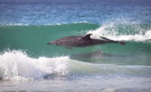 Dolphin Surfing #2