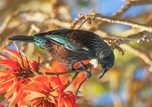 Tui in Coral tree#3