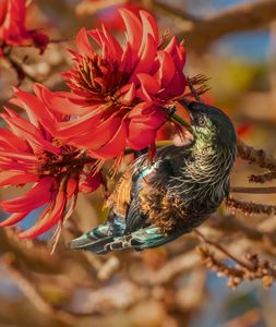 Tui in flame tree #1