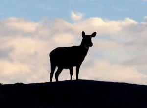 Water Buck silhouette