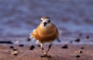 New Zealand Northern  Dotterel