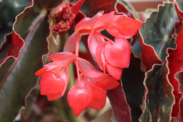 Red colourful flower - Chaling tarh photographer