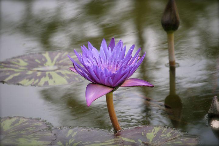 Lavender - Nature & Animals