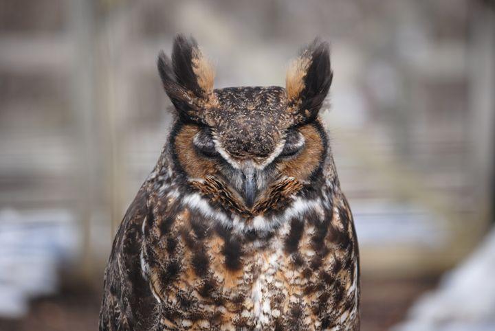 Owl - Nature & Animals