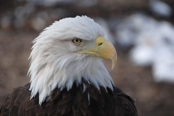 Bald Eagle - Nature & Animals