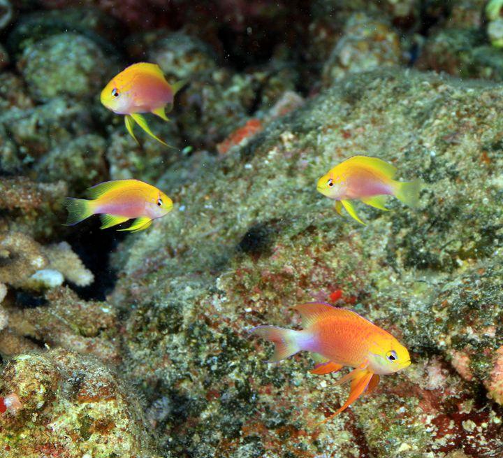 Long fin Anthias in Hawaii - Hawaii Underwater