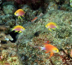 Long fin Anthias in Hawaii
