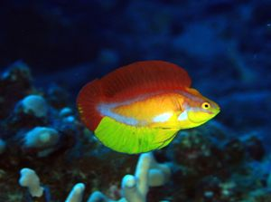 Male Flame Wrasse