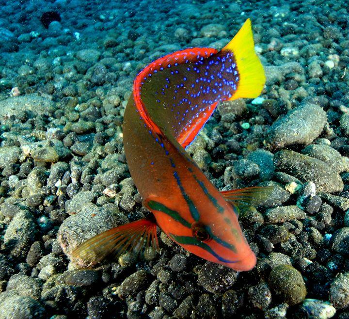 Yellow tail Coris, hinaeo akololo - Hawaii Underwater
